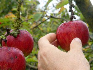 Apfel pick ich mir...