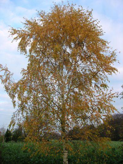 Birke Herbstlicht