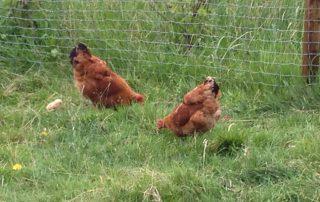 2 Hennen plus